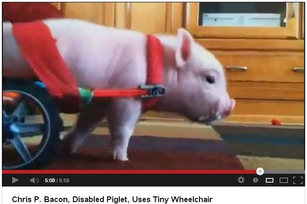 Chris P Bacon - piglet uses tiny wheel chair