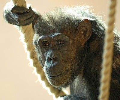 Deadline News Chimpanzee Image