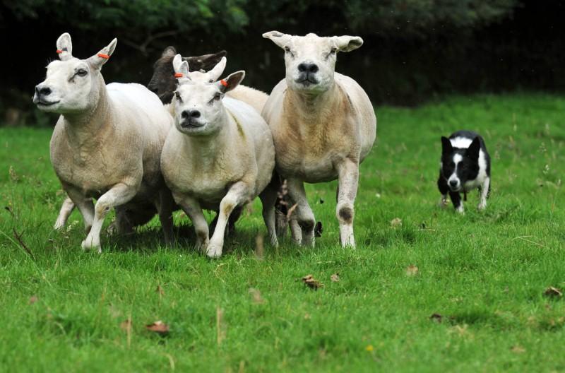 Sheepdog trials sponsored by wind farm company