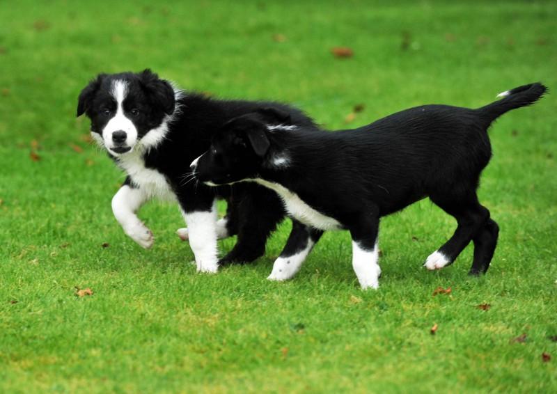 PR photos of sheepdog puppies